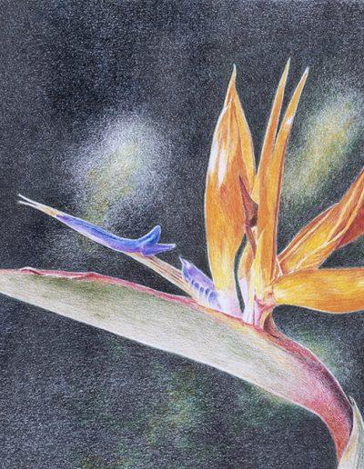 Bird of Paradise, Joan Hull